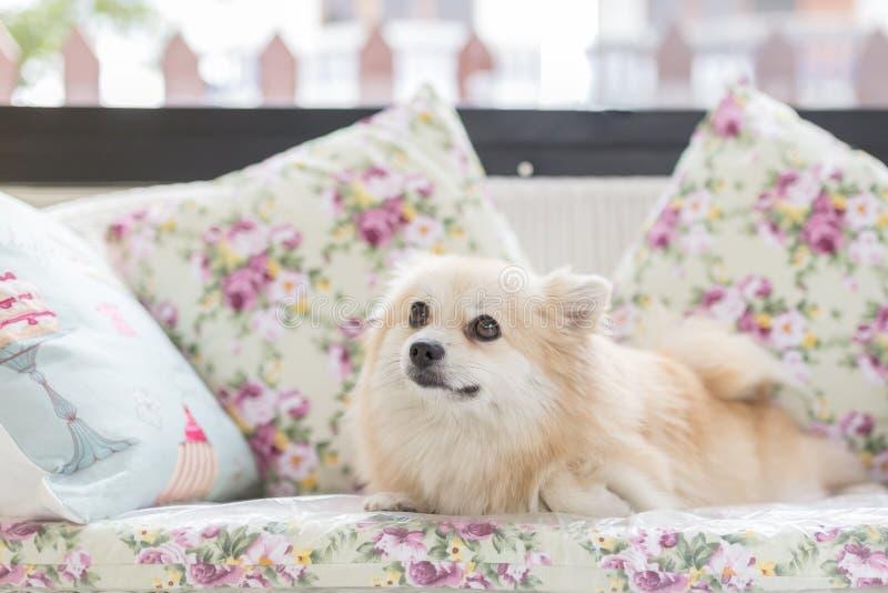 Gulligt husdjur i hus, Pomeranian som hemma ansar hunden på säng arkivbilder
