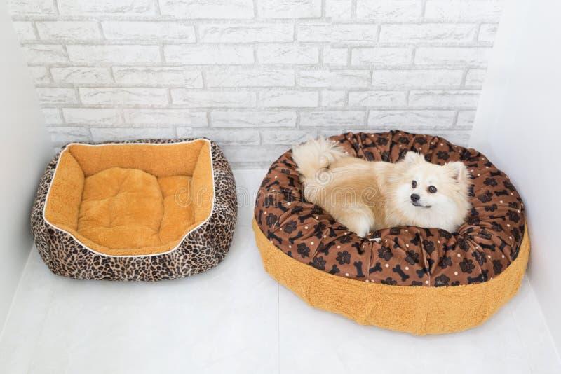 Gulligt husdjur i hus, Pomeranian som hemma ansar hunden på säng royaltyfri foto