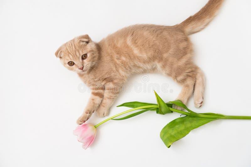 Gulligt kattungeanseende på en tulpan på vit bakgrund Semestra det idérika begreppet för kortet, vårbaner Lycklig födelsedag, mod arkivbild