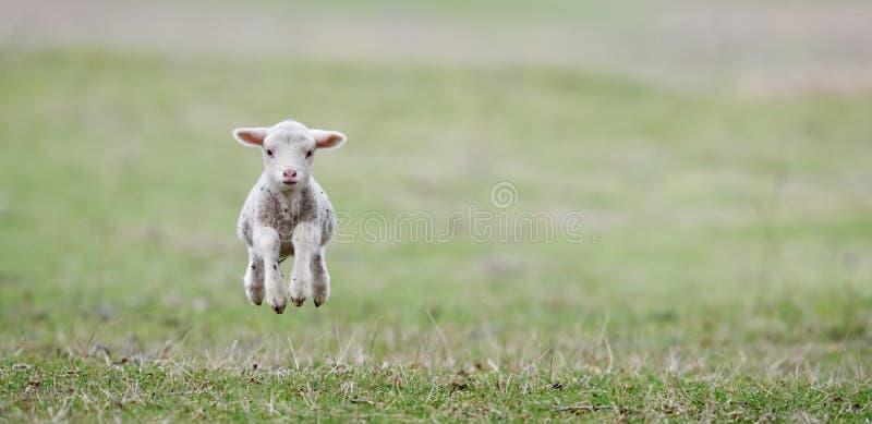 Gulligt lamm på fält i vår arkivbild