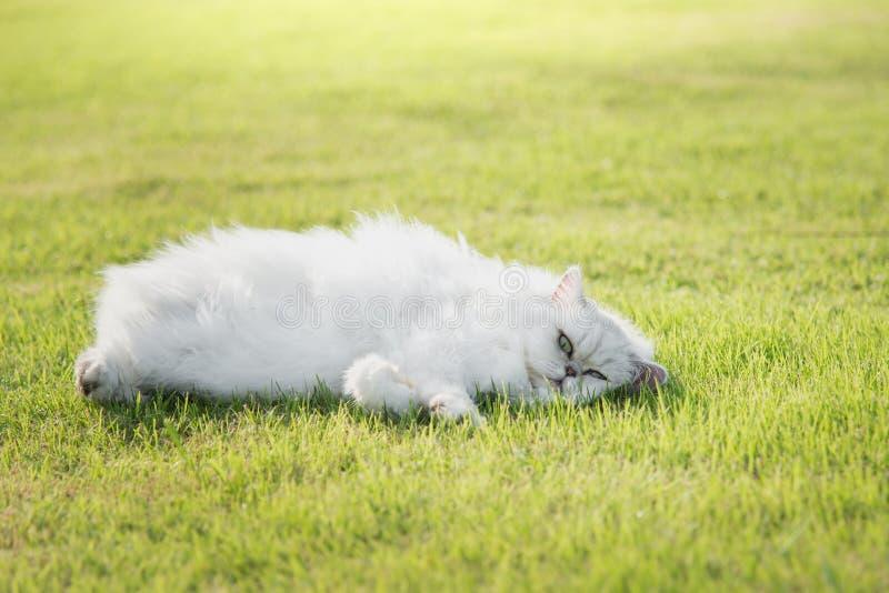 Gulligt ligga för persia katt arkivbild