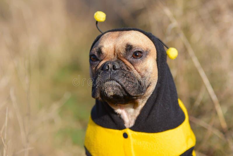 Gulligt lisma den kvinnliga hunduppklädden för den franska bulldoggen i en rolig svart och gul bidräkt royaltyfri fotografi