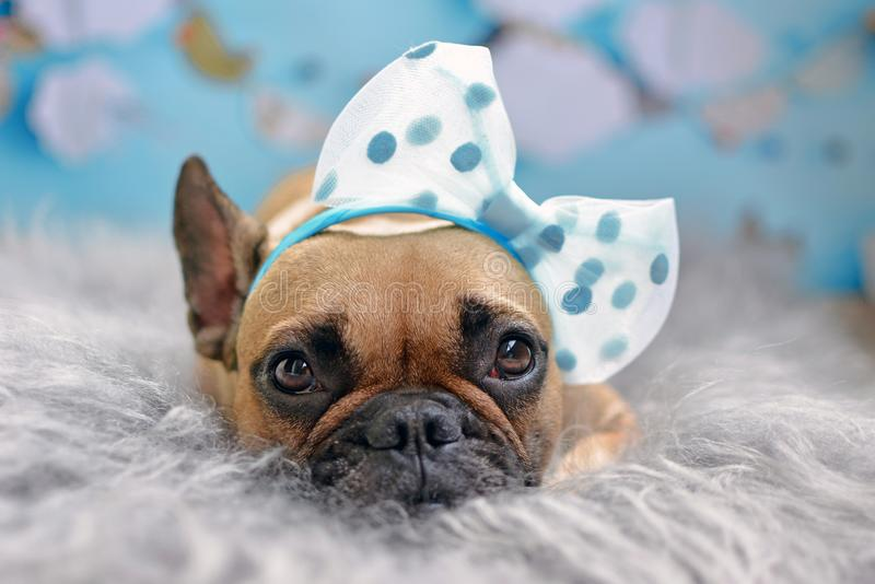Gulligt lisma hunden för den franska bulldoggen med det stora bandet på huvudet som ligger på förbigådd päls arkivfoto