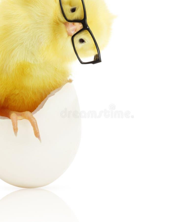 Gulligt litet fegt komma ut ur ett vitt ägg royaltyfria bilder