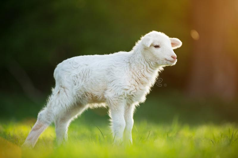 Gulligt litet lamm på ny grön äng arkivbild