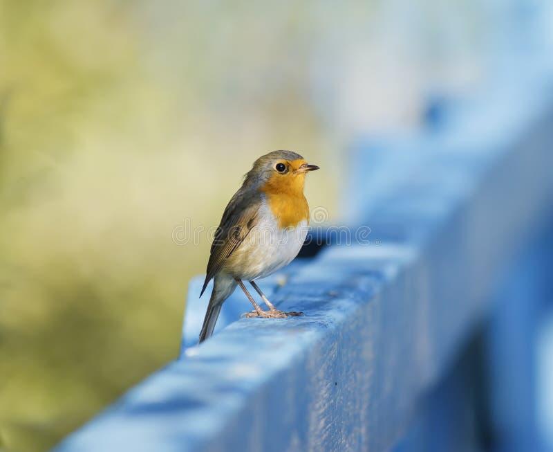 Gulligt litet orange fågelrödhakesammanträde på ett blått trästaket på fotografering för bildbyråer