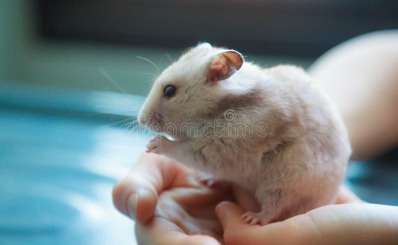 Gulligt ljus - Mesocricetusauratus för brun syrian som eller för guld- hamster äter älsklings- mat Ta omsorg, förskoning, inhemsk fotografering för bildbyråer