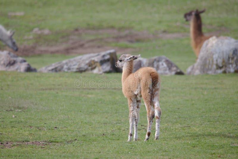 Gulligt ljust - brunt lamafölanseende på ett grönt fält royaltyfria bilder