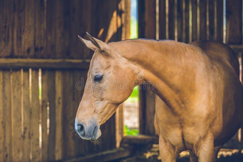 Gulligt lugna brunt hästanseende i ett stall arkivbilder