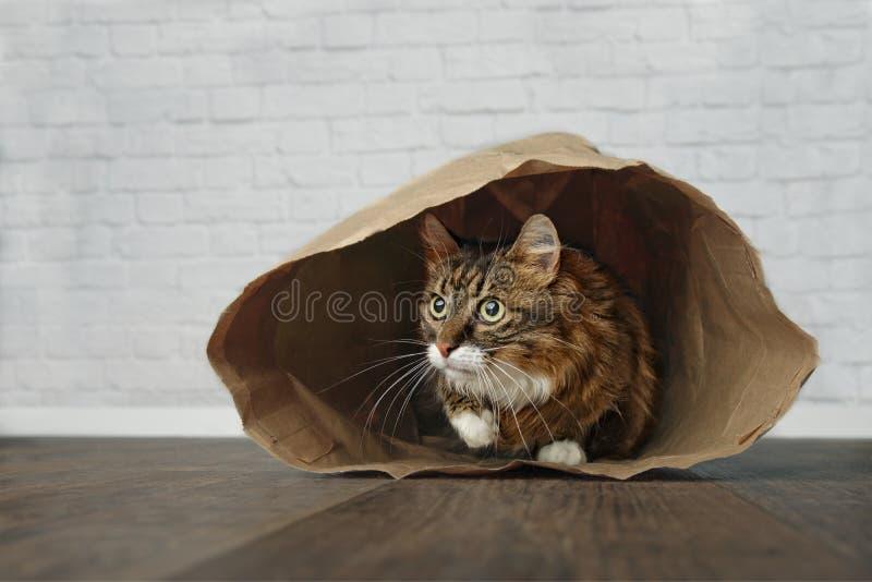 Gulligt Maine Coon kattsammanträde i en pappers- påse och se till sidan royaltyfria foton