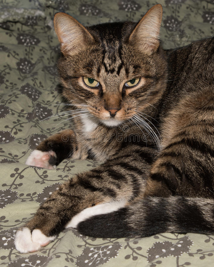 Gulligt roligt kattslut upp, inhemsk katt, avslappnande katt royaltyfria bilder