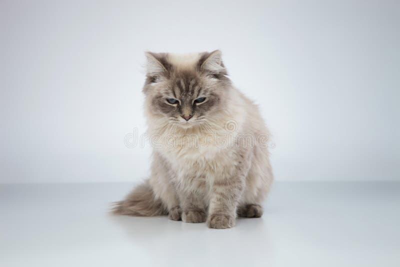 Gulligt sömnigt kattsammanträde royaltyfria bilder
