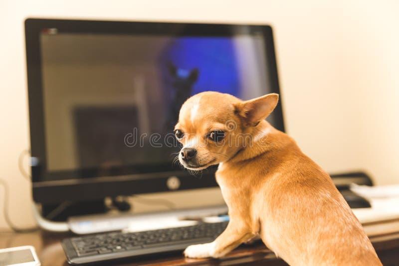 Gulligt sammanträde för chihuahuavalphund på datoren royaltyfria foton