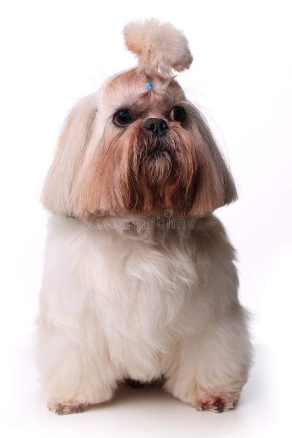 Gulligt Shih Tzu hundsammanträde i studio på en vit bakgrund arkivfoton