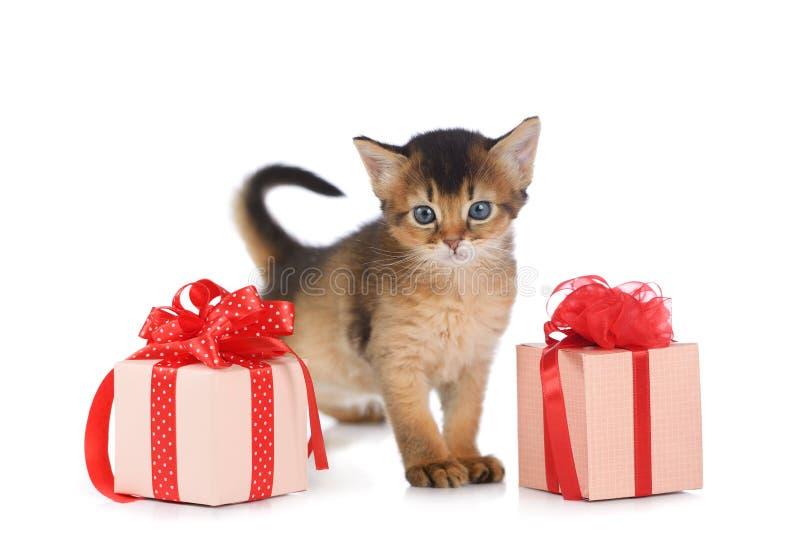 Gulligt somali kattungestag nära en närvarande ask arkivfoton