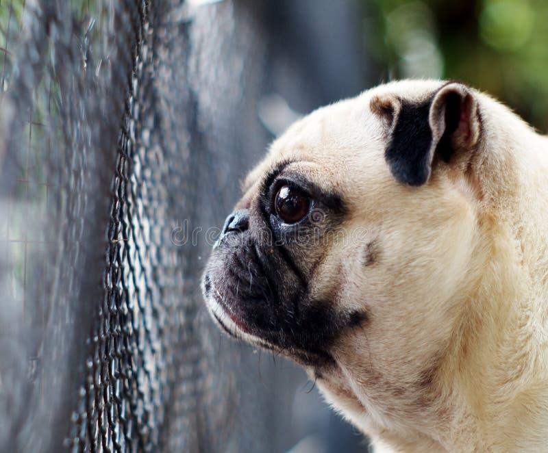 Gulligt spela för mopshund som är utomhus- royaltyfria foton