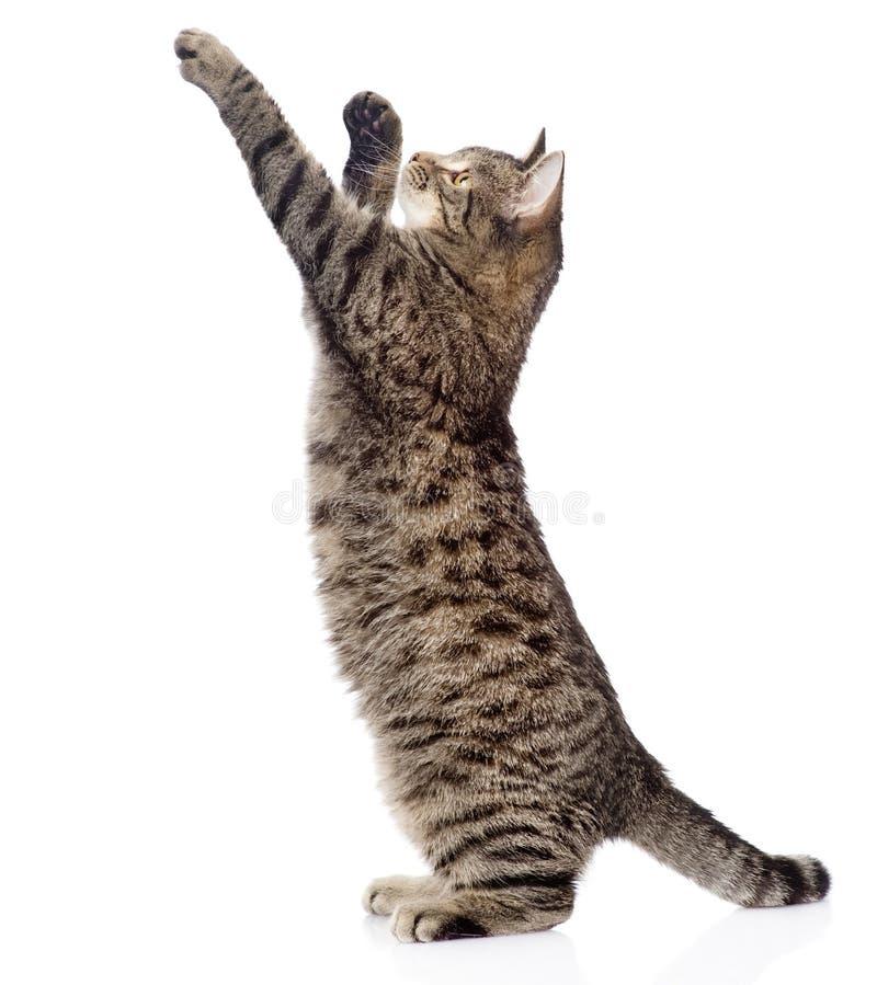 Gulligt strimmig kattkattungeanseende på bakre ben och att hoppa isolerat arkivbild