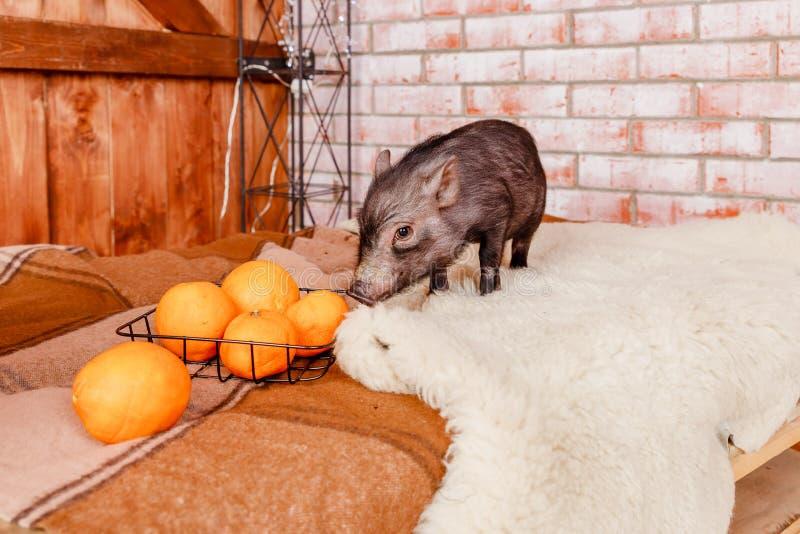 Gulligt svart liten-gå i ax svin på tegelstenbakgrund Dekorativt svin, mini- piggy djur i kontaktzoo, hjälper stads- royaltyfri bild