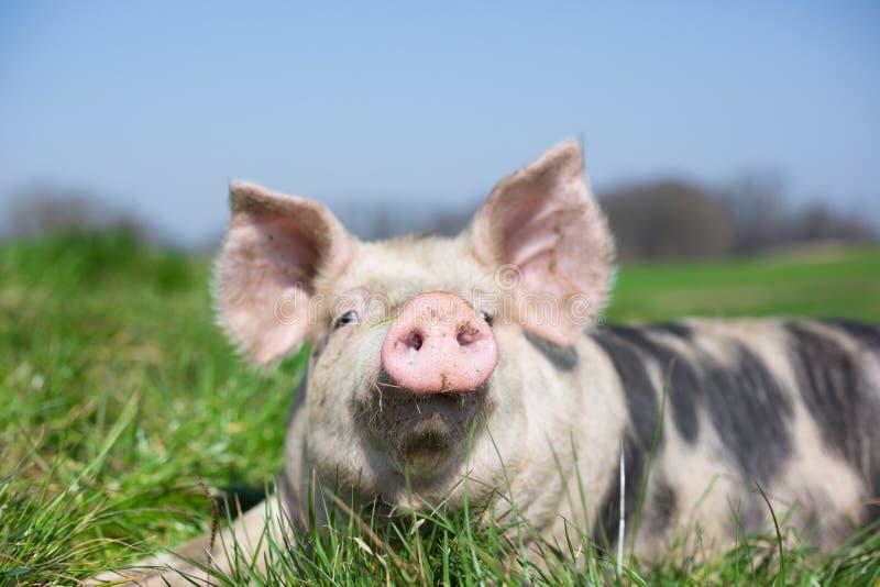 Gulligt svin i gräs arkivbild