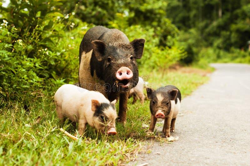 Gulligt svin med spädgrisar på bygdvägen royaltyfri foto