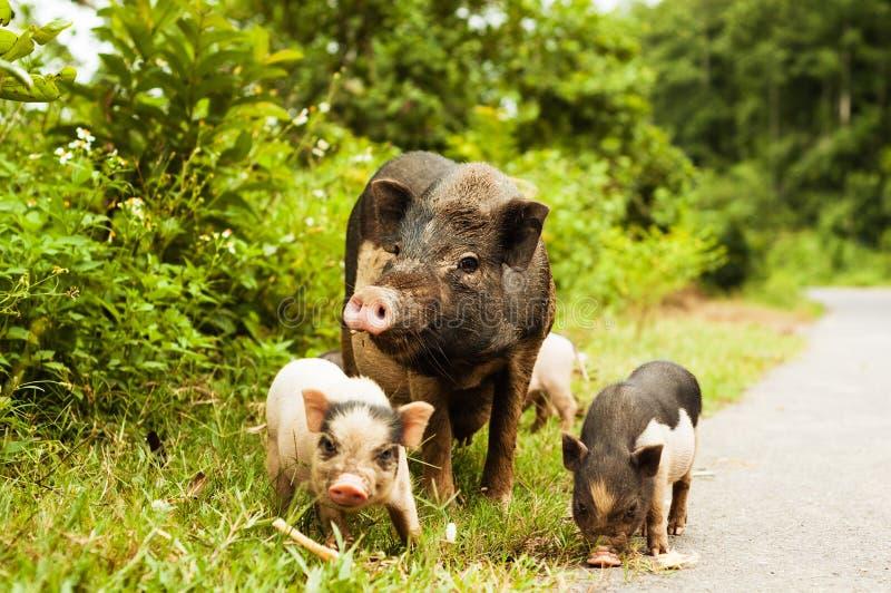 Gulligt svin med spädgrisar på bygdvägen arkivfoton