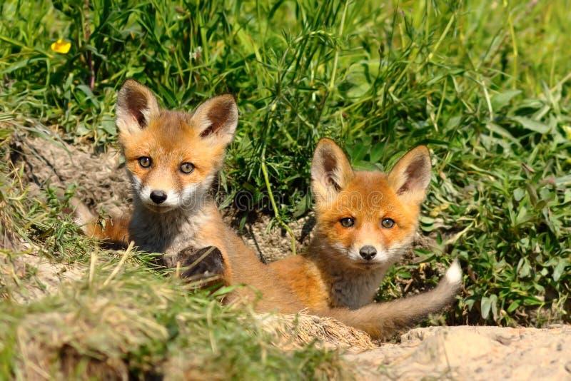 Gulligt syskon för röd räv på ingången av hålan arkivfoton