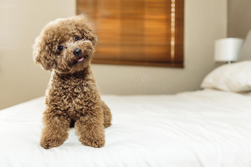 Gulligt Toy Poodle sammanträde på säng fotografering för bildbyråer