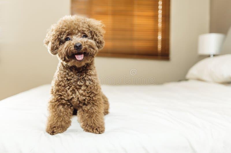 Gulligt Toy Poodle sammanträde på säng royaltyfri fotografi