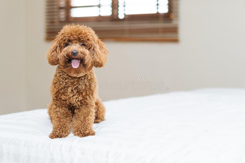 Gulligt Toy Poodle sammanträde på säng royaltyfria bilder