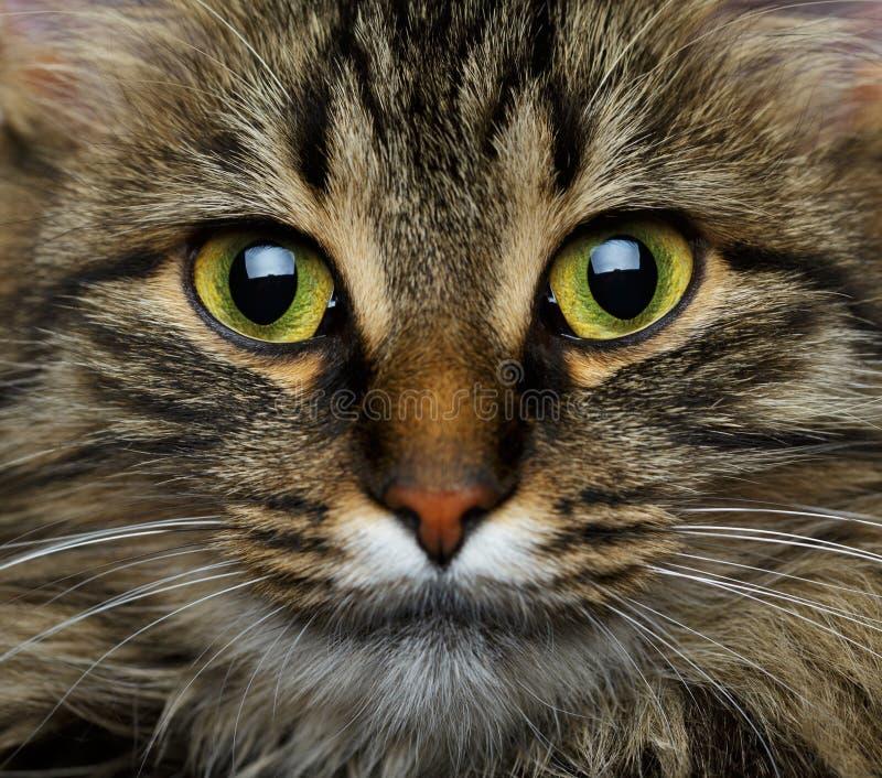 Gulligt tysta ned strimmig kattkatten arkivfoton