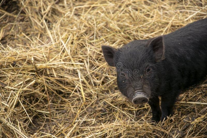 Gulligt ungt vietnamesiskt Kruka-buktat svin arkivbilder