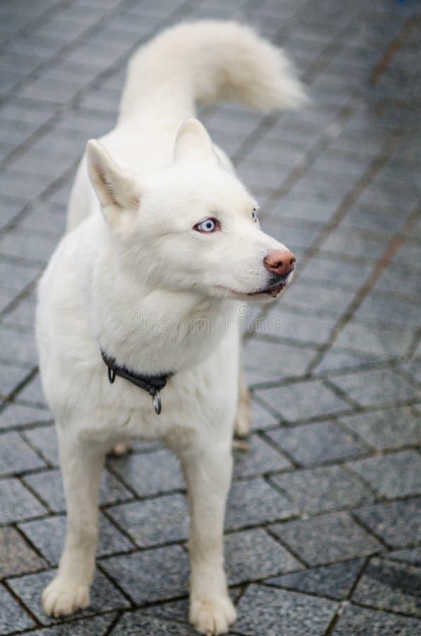 Gulligt vitt skrovligt posera för avelhund arkivfoton