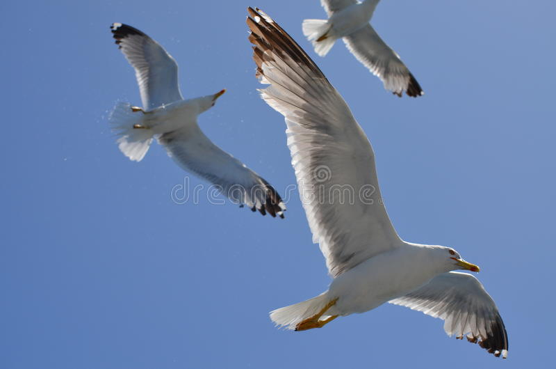 gulls fotografia stock libera da diritti