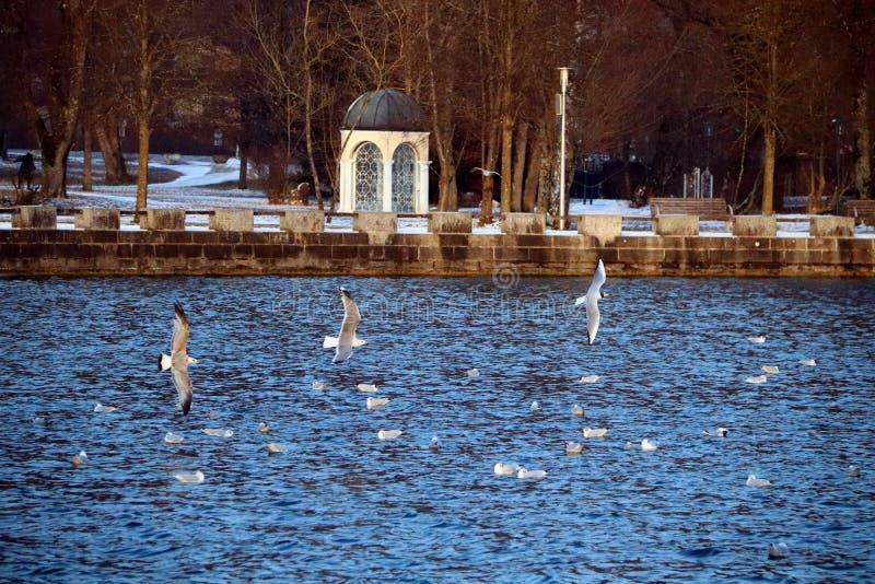 Gulls above the Mondsee stock photo
