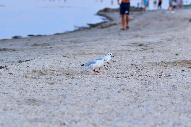 Gulls on the beach. A seagull bird is walking on the beach. Many gulls walk along the sand on the beach near the sea. Evening beac stock photo