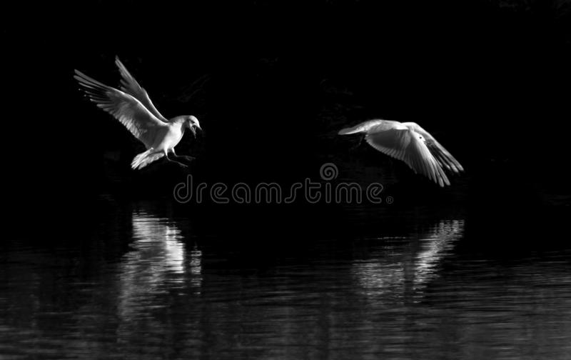 Gulls fighting over water. Seagulls fighting over still waters with black background stock image
