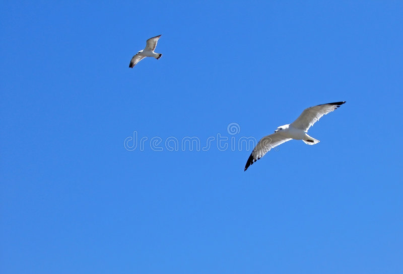 Download Gulls In Flight Royalty Free Stock Photo - Image: 107135