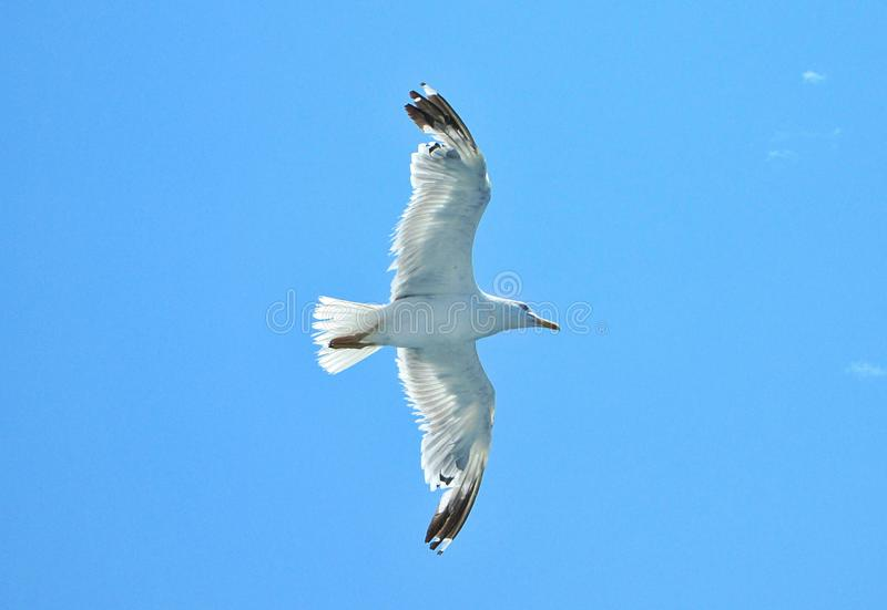 gulls fly in the sky stock photo