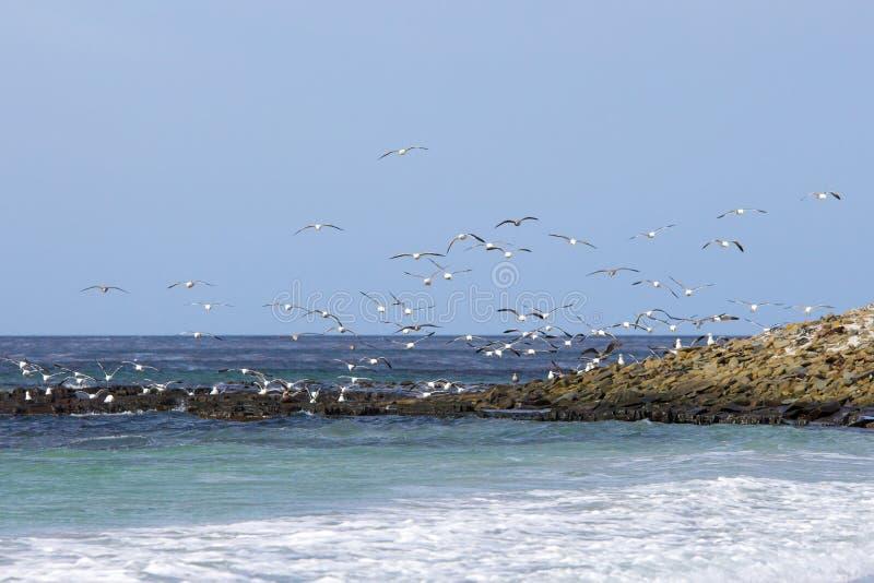 Gulls flying over coast, Falkland Islands. royalty free stock photo