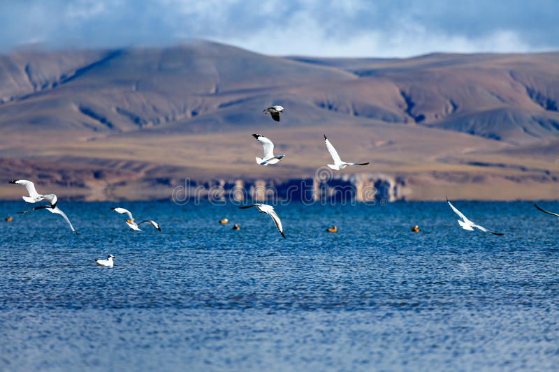 Gulls flying over Dagze Co royalty free stock photos