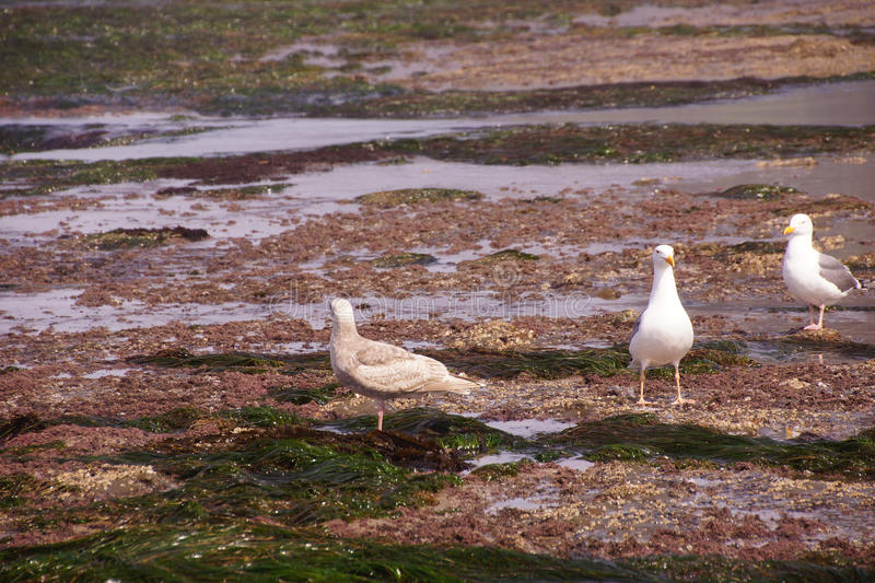 Gulls forage in tide pools royalty free stock photography