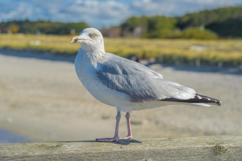 Gulls. On groynes in the surf on the German Baltic coast stock photography