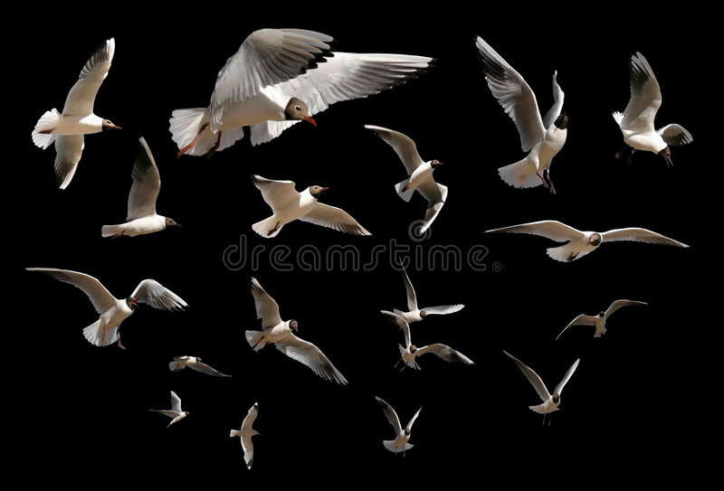 Gulls Isolated On Black Royalty Free Stock Image