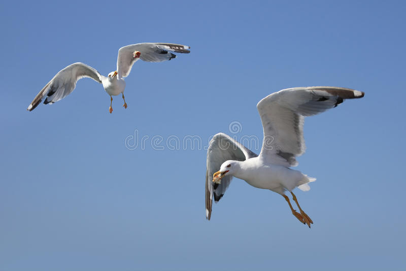 Download Gulls isolated on blue stock image. Image of food, nature - 15971761