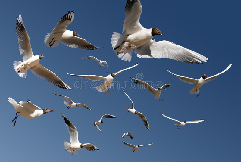 Download Gulls isolated on blue stock photo. Image of stretched - 2230476