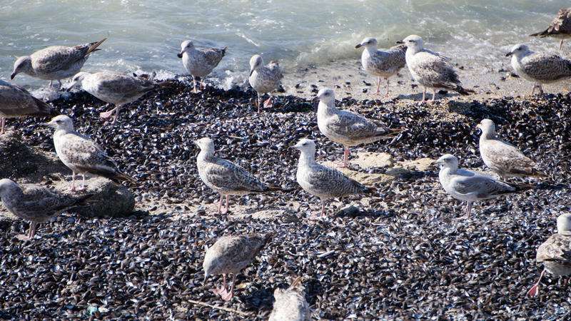 Gulls on mussels stock photography
