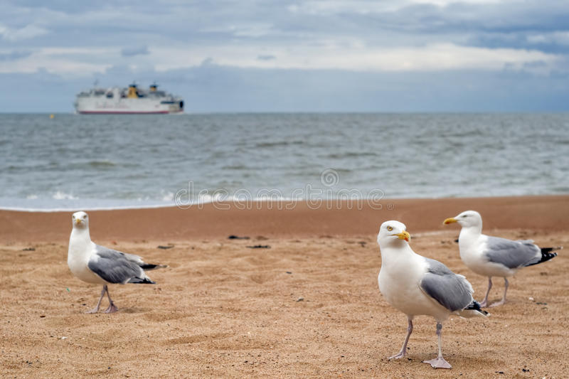 Gulls in Oostende, Belgium royalty free stock images