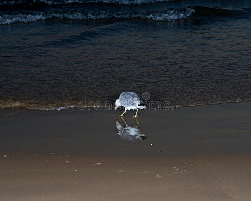 Gulls or seagulls, seabirds of the Laridae family in the suborder Lari, on the beach of lake Michigan. At sunrise royalty free stock images