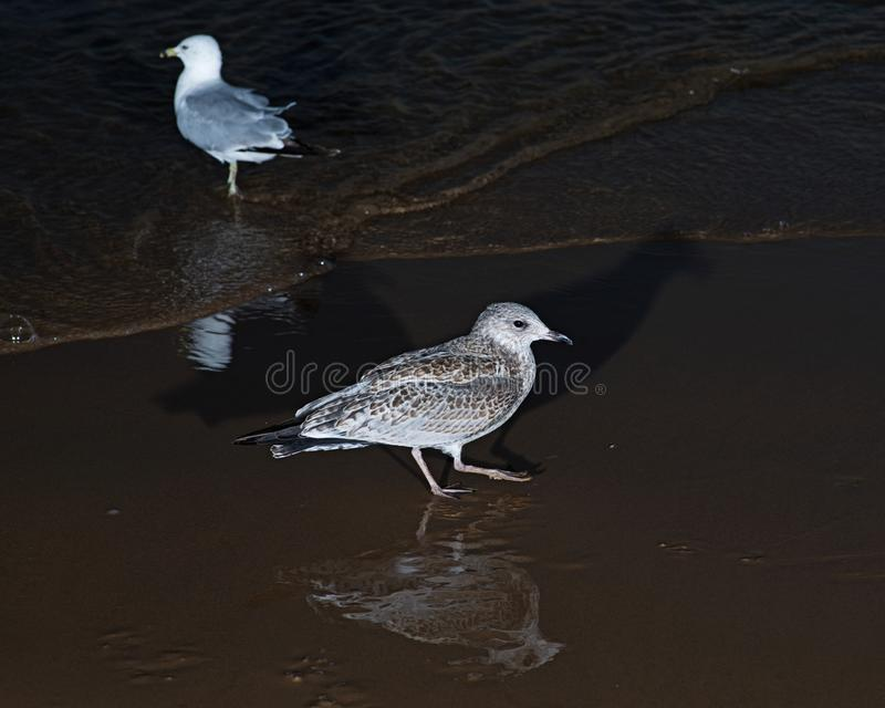 Gulls or seagulls, seabirds of the Laridae family in the suborder Lari, on the beach of lake Michigan. At sunrise royalty free stock image