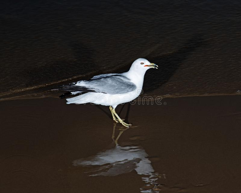 Gulls or seagulls, seabirds of the Laridae family in the suborder Lari, on the beach of lake Michigan. At sunrise royalty free stock photography